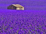 电脑壁纸高清紫色薰衣草风光赏析