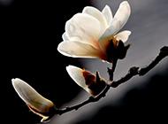 白色玉兰花高清花卉壁纸