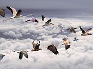 飞翔的鸟类动物壁纸图片