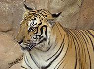 凶猛的老虎动物桌面壁纸