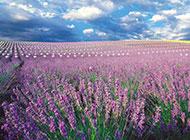 紫色的薰衣草花海风景浪漫清新