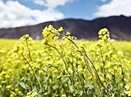 蓝色天空下的油菜花花海图片