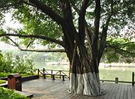 福州市森林公园榕树图片袅娜多姿