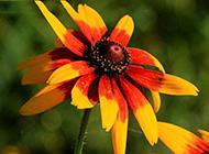 阳光下绽放的红色野菊花图片