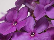 绽放笑容的丁香花图片