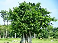 高清榕树图片最新壁纸精选
