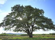 大叶榆树图片茂盛苍翠