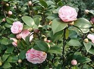 粉色山茶花原创摄影