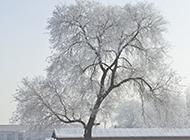 冬日白榆树图片屹立雪地