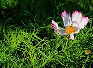 草丛中的盛开的野菊花图片