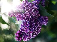 紫色的唯美浪漫花卉图片赏析