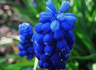 蓝风信子花朵高清图案