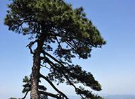 高山上的松树摄影图片