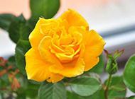 一朵盛开的黄玫瑰图片