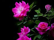 风吹雨打后野蔷薇花图片欣赏