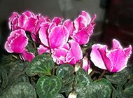小花仙多年生草本植物仙客来素材欣赏