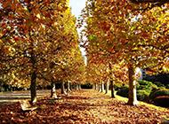 梧桐树图片唯美意境风景