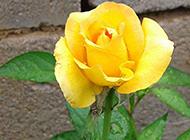 唯美的雨后黄玫瑰高清图片赏析