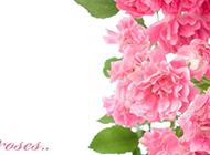 娇艳欲滴粉红康乃馨