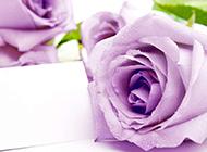 代表浪漫真情的紫玫瑰图片