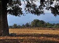 枝繁叶茂的大树摄影图片
