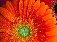 沾满水滴的红色非洲菊花图片