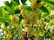 野生桂花树图片花繁叶茂