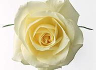 纯洁的黄玫瑰花高清特写图片