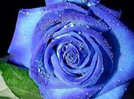 诱人的蓝色玫瑰花图片