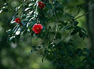 盛开的红山茶花图片