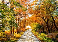 唯美梧桐树道路图片欣赏
