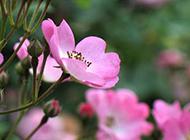 满枝灿烂的蔷薇花图片