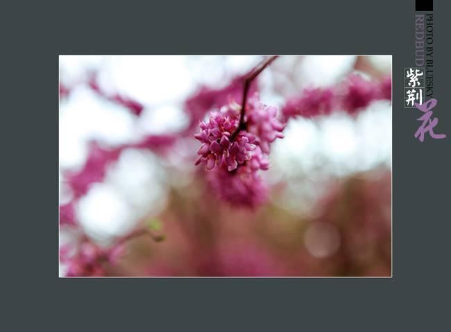 典雅大方的紫荆花图片