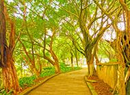 街边榕树图片迎风招展