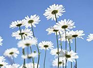 蓝天下白色野菊花图片摄影
