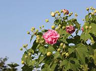 开花的梧桐树图片