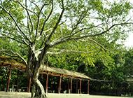 亭亭玉立的榕树图片欣赏