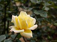 代表珍重祝福的黄玫瑰