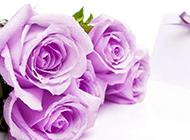 珍贵独特的紫玫瑰唯美图片