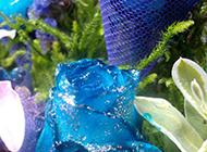 惹人喜爱的蓝色玫瑰花图片