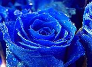 带着水珠的蓝色玫瑰花图片