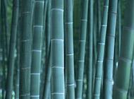 四季青翠的竹子图片