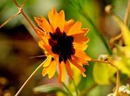 黄色野菊花图片素材分享