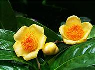 中国稀有植物金茶花图片