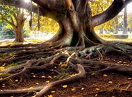 遮天蔽日的百年大树图片