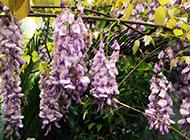 紫藤花图片攀缘植物摇曳生姿