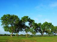 小叶榆树图片青翠茂盛