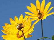 蓝天下的野菊花图片