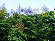成苗栾树图片枝繁叶茂