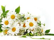 素净优雅的白色野菊花图片